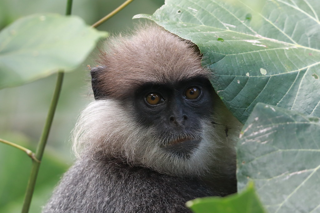 Purple-faced Langur   Semnopithecus vetulus
