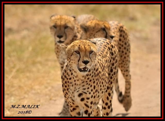 GROUP OF CHEETAHS (Acinonyx jubatus).....MASAI MARA....SEPT, 2018.