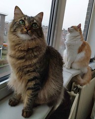 My pretty weekend guests #catsitting #fluffy #cute #cats #CatsOfInstagram #raamkattenvanbinnen