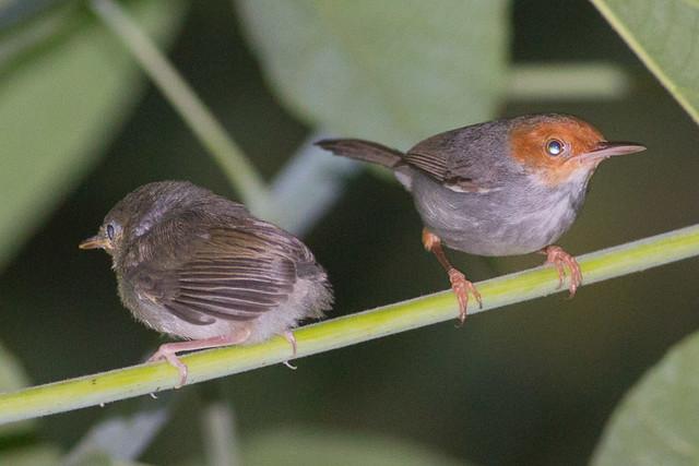 Ashy Tailorbird  with baby