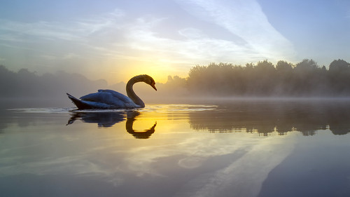 daisynook countrypark crimelake bbccountryfilecalendar march swanlake swan muteswan sunrise lowpointofview cygnusolor reflection mist calm peaceful serene