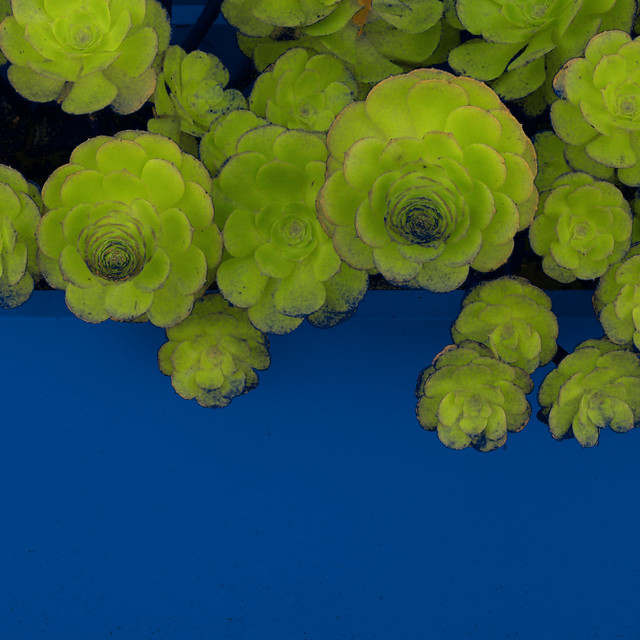 succulents on blue