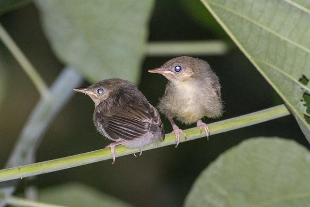 Ashy Tailorbird  babies