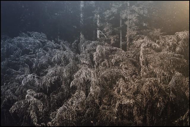 fern at wintertime