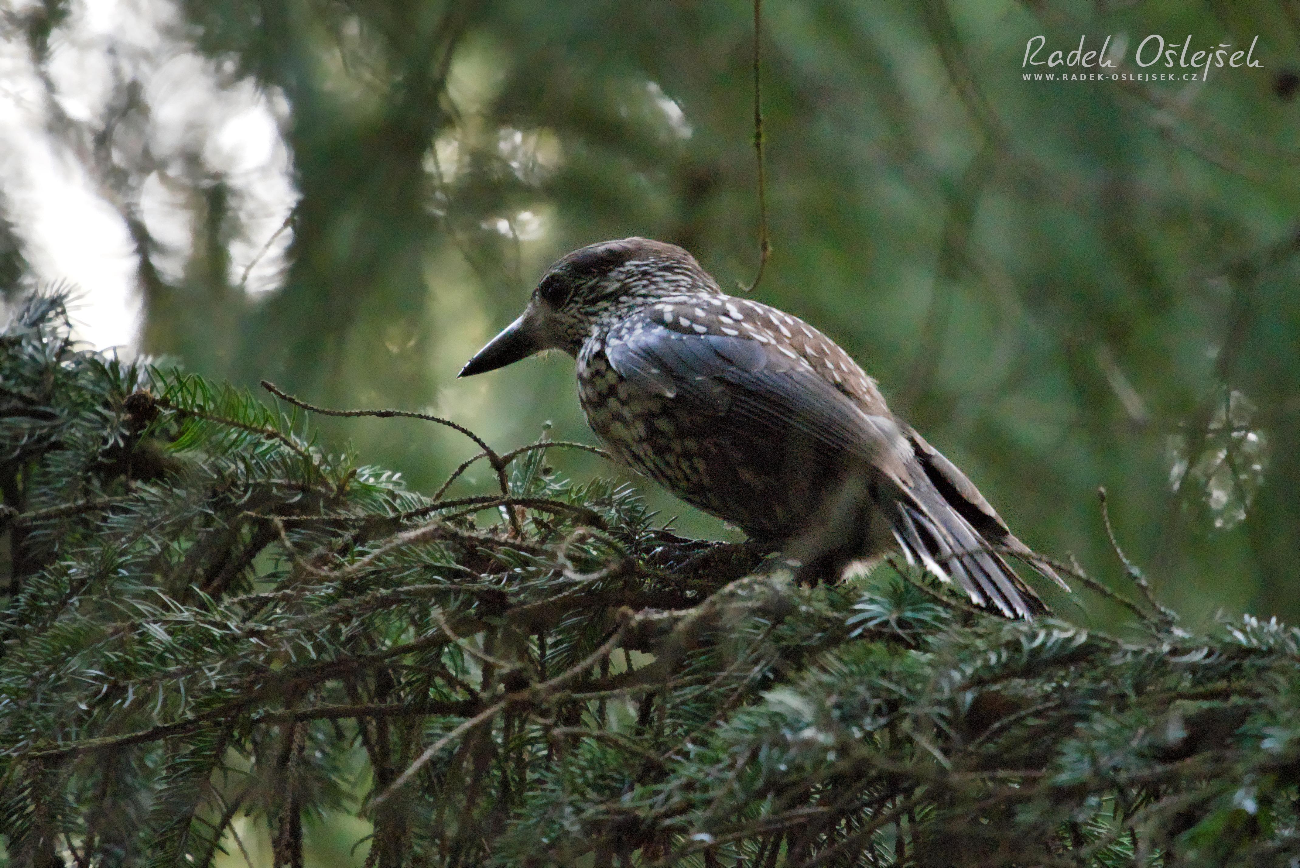 spotted nutcracker / ořešník kropenatý / nucifraga caryocatactes, CZE, 2020