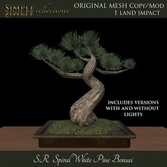 Spiral White Pine Bonsai