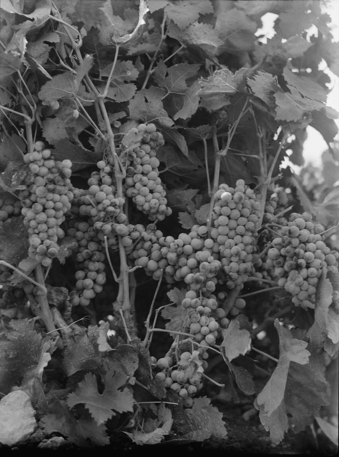 09. Виноград