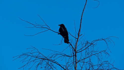 Crow on birch lookout