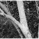 Trees + Ivy
