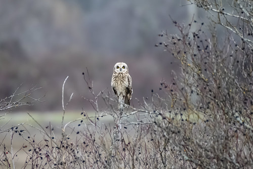 Short-eared and Short-legged