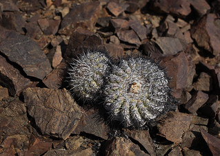 Copiapoa cinerascens | by Umadeave