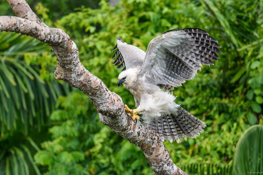 Harpy Eagle (Harpia harpyja), juvenile