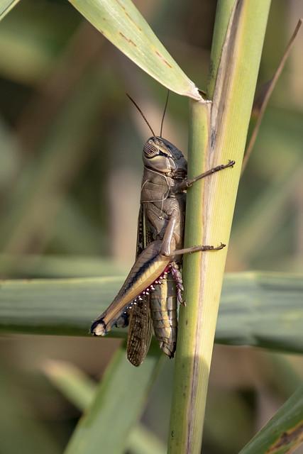 White-banded Grasshopper