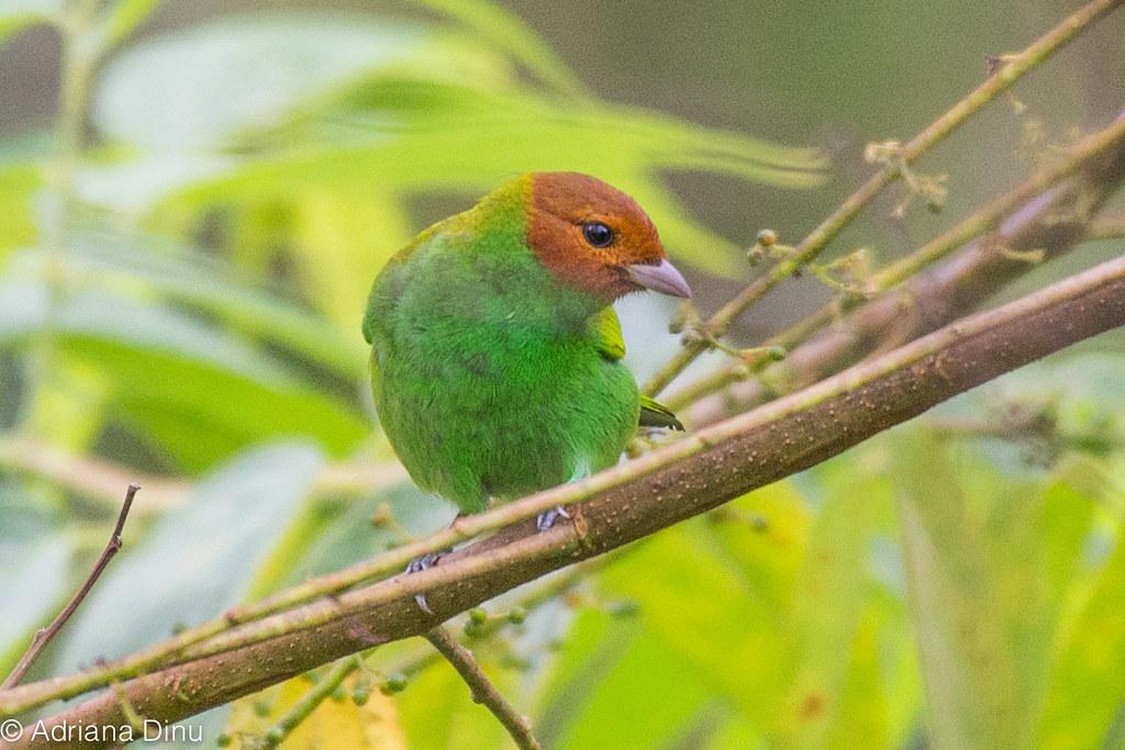 bay-headed tanager-1