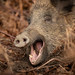 Yawning sow, Forest of Dean