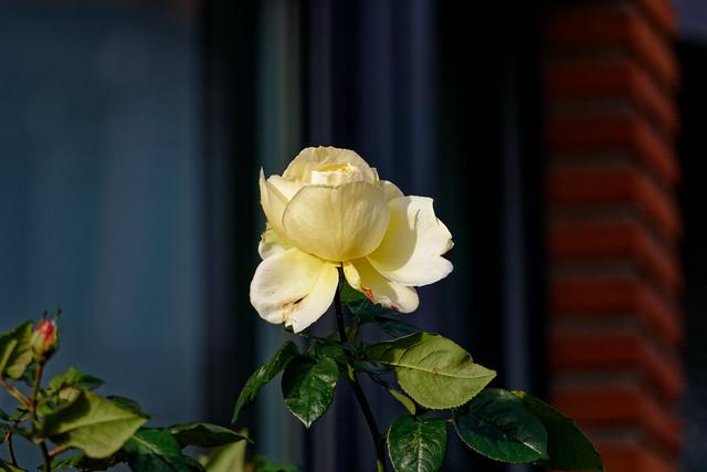 Rose de janvier - Rose of january