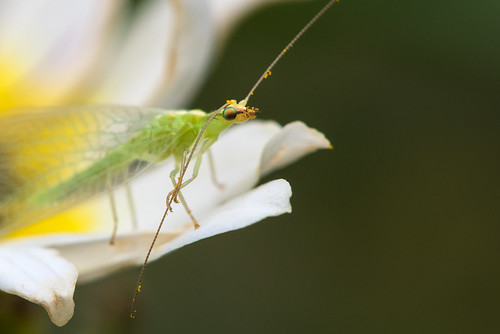 1608_0447 Green Lacewing