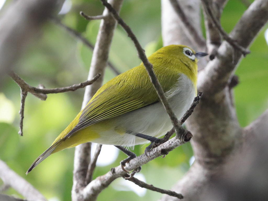 Indian White-eye  Zosterops palpebrosus