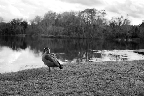Lake Alice Duck