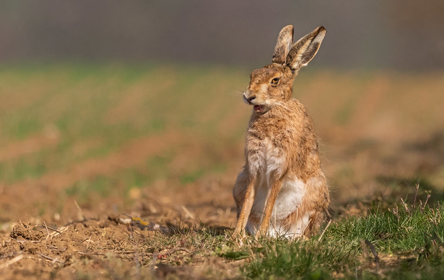 Just a yawning Hare