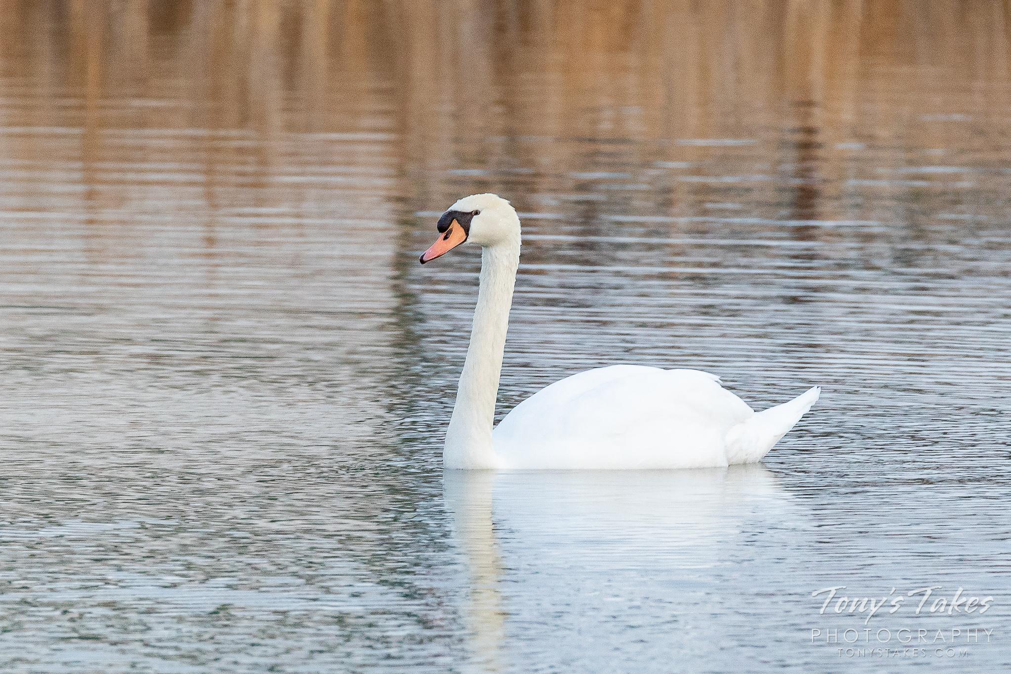 Mute swans visit Colorado