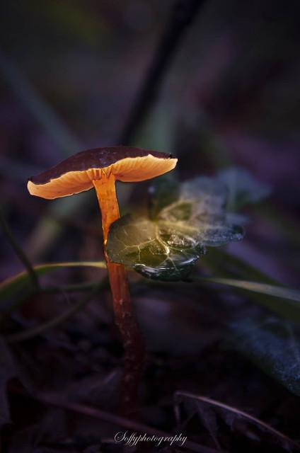 Bright mushroom - Champignon lumineux
