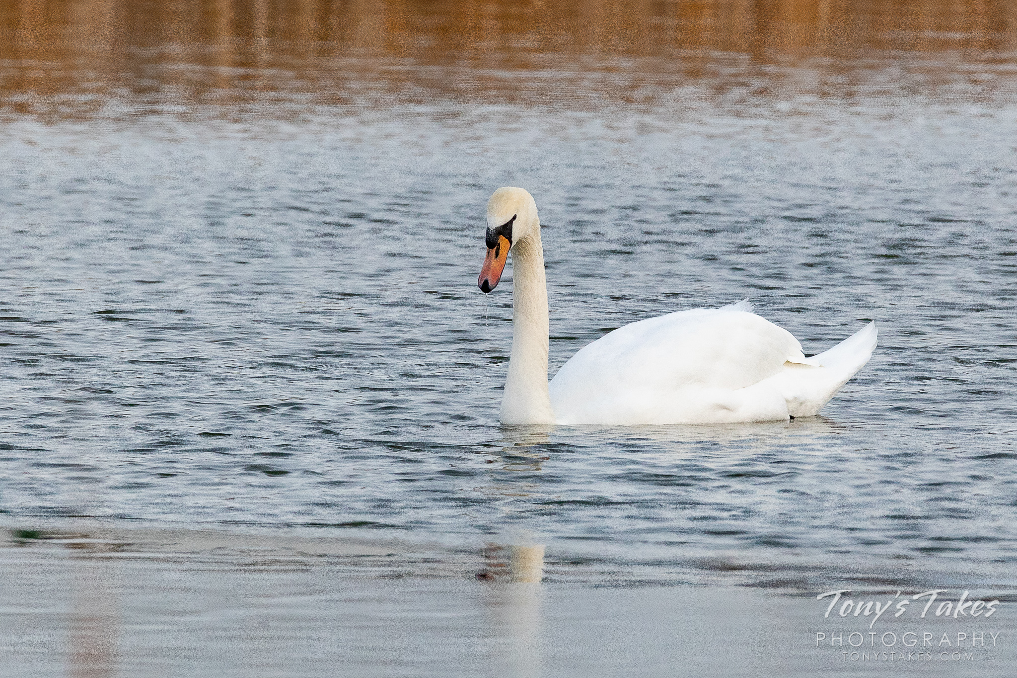 A mute swan hangs out on a pond in Boulder County, Colorado. (© Tony's Takes)