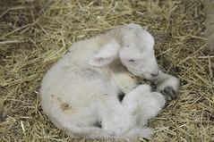Newborn lamb. Born February 2nd.