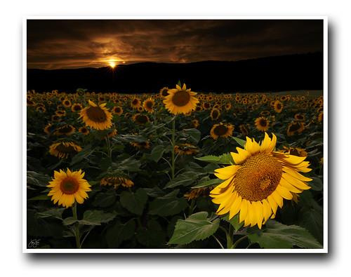 sunflower fusion landscape mashup composite setting sun