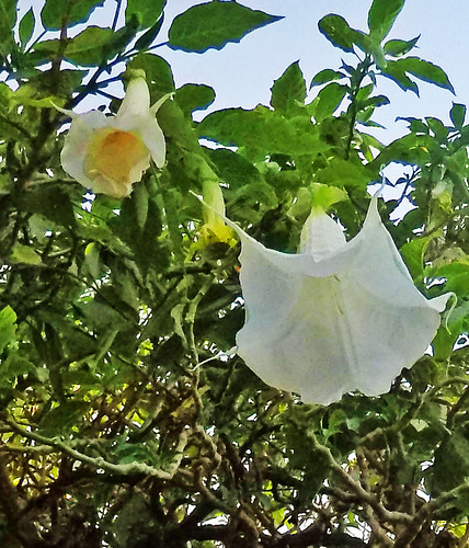 UCR Botanic Gardens - Datura (2924A)