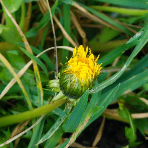 Year's first dandelion