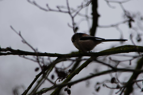 Long-tailed tit in alder tree, West Park