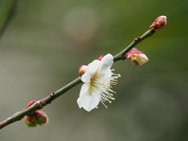 White plum blossoms