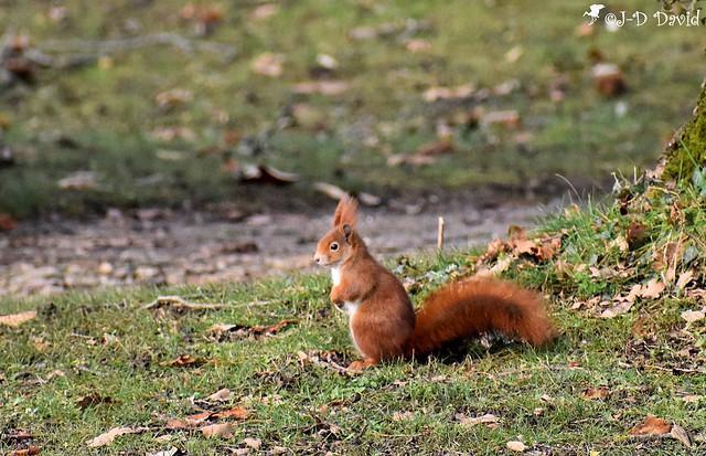 Ecureuil roux_14