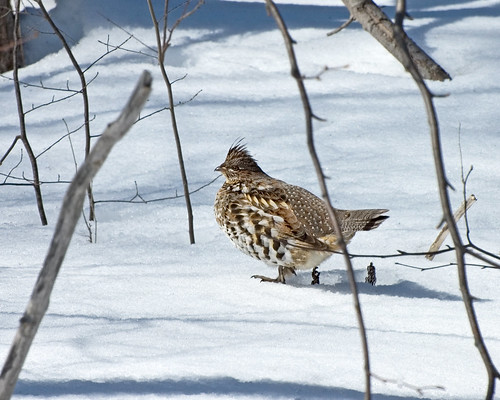 Ruffed Grouse (for Dean for ID)