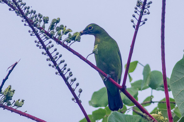 Greater Green Leafbird  - female