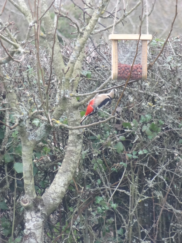 The elusive red woodpecker