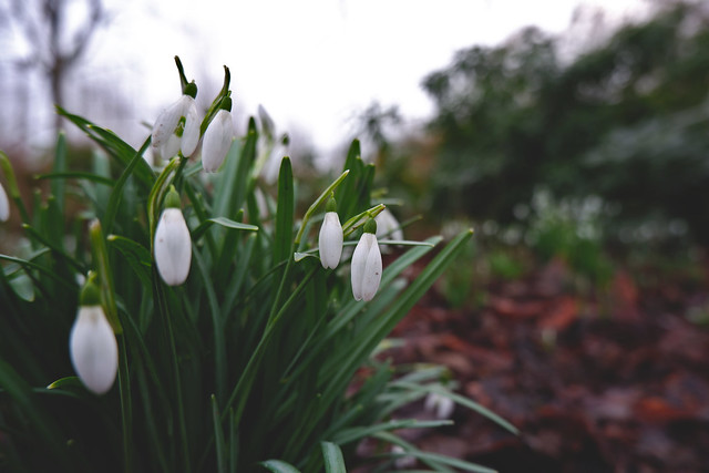 Snowdrops slowly coming to life