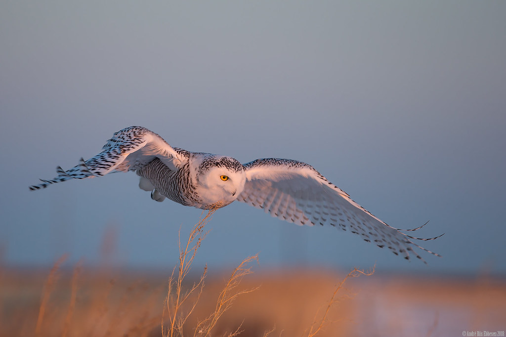 Snowy owl in the golden hour