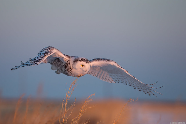 Snowy owl in the golden hour