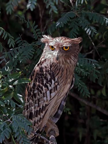 Brown Fish Owl | by ipaddave