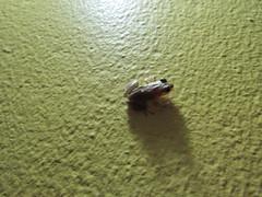 Tree Frog (Scinax?)