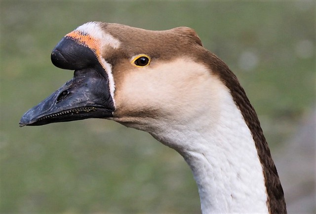 Goose - Opelzoo Germany