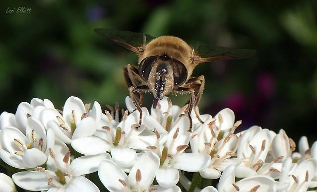 A Drone Fly Feeding on Nectar....