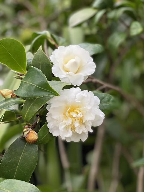 "Camellia ""Buttermint"" 2"