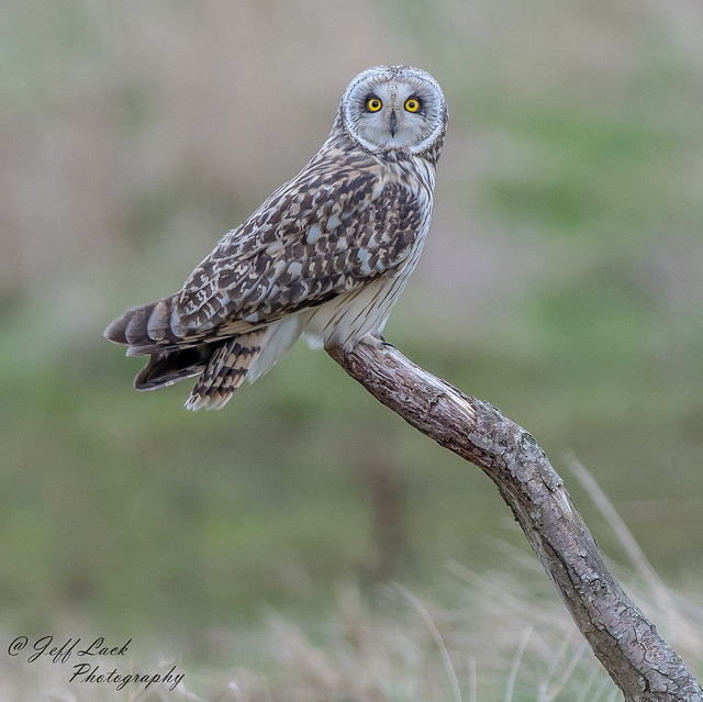DSC4344  Short eared Owl...