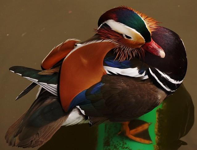 Mandarin duck - Großer Teich im Volkspark Friedrichshain - Berlin