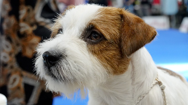Jack Russell Terrier - DUO CACIB Brno 2020