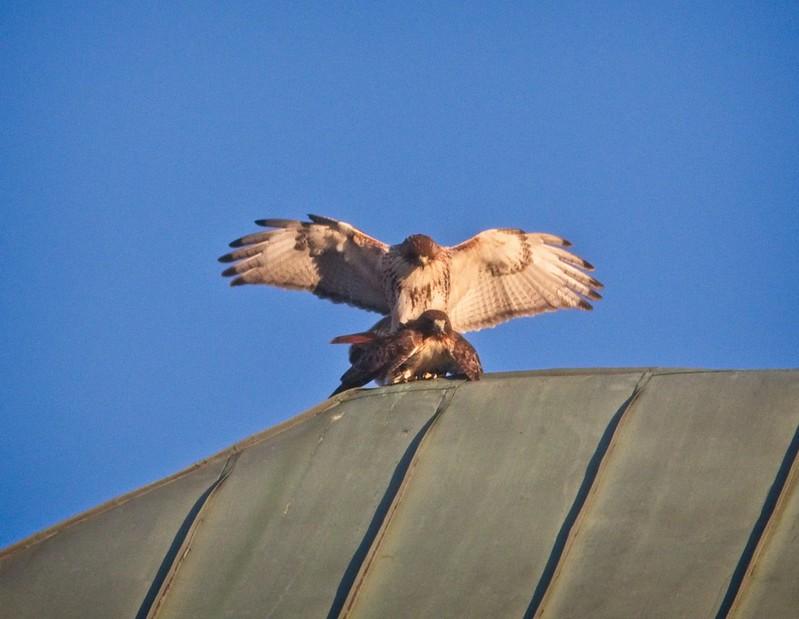 Christo & Amelia mating atop the Christodora