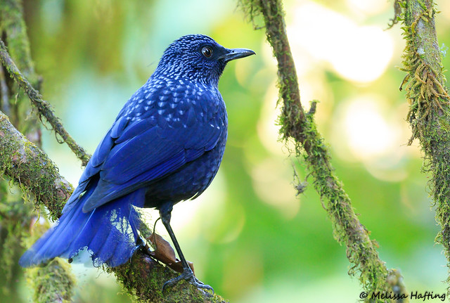 Blue Whistling-Thrush (Myophonus caeruleus) - Doi Inthanon, TH